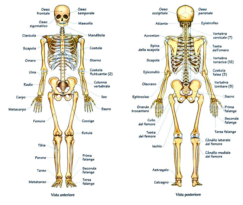 osteogenesi staminali
